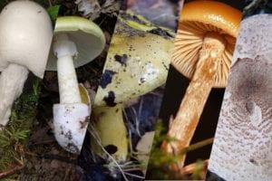 Pilze bestimmen! – Giftpilze Teil 1